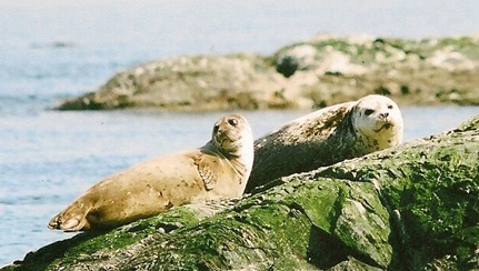 harbour-seals-hauled-out