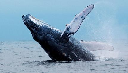 humpback-back-flip