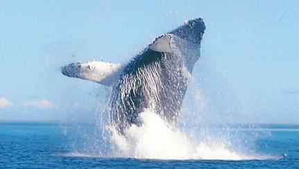 humpback-breaching