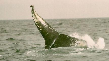 humpback-tail