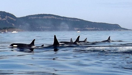 resident-orcas-resting