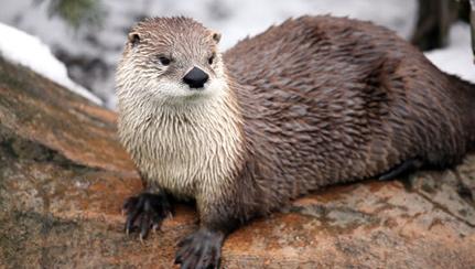 river-otter-1