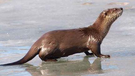 river-otter-3