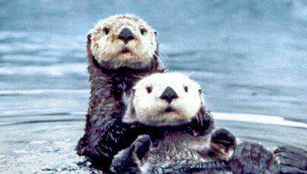 sea-otter-1