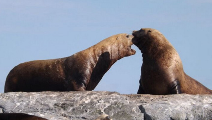stellar-sea-lions-fighting