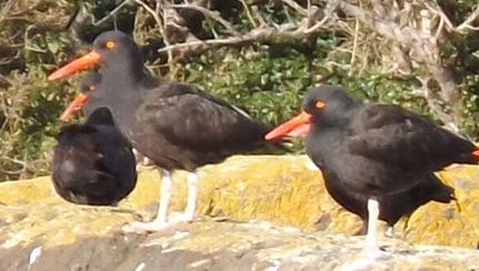 black-oystercatchers