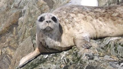 harebour-seal