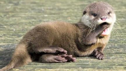 river-otter