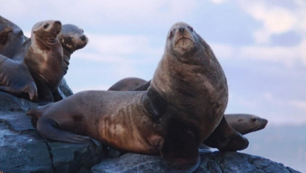 stellar-sea-lions-at-race-rocks
